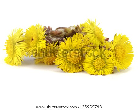 Colts Foot or Tussilago farfara on a white background - stock photo