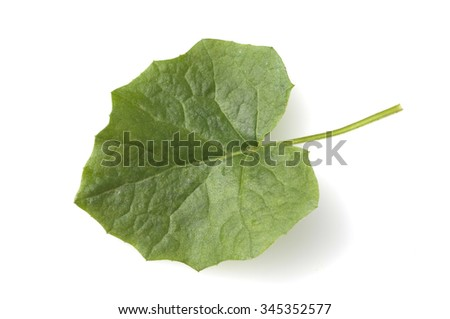coltsfoot; leaf, Tussilago - stock photo