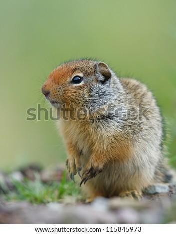 Columbian Ground Squirrel, Urocitellus columbianus, striking a cute pose in prairie habitat, near Missoula, Montana, USA - stock photo