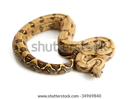 Columbian Red-tailed Boa (B. c. constrictor) isolated on white background. - stock photo