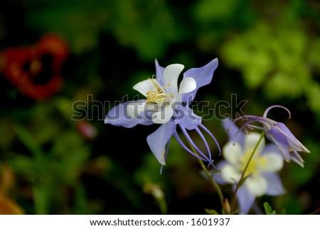 Columbine flowers - stock photo
