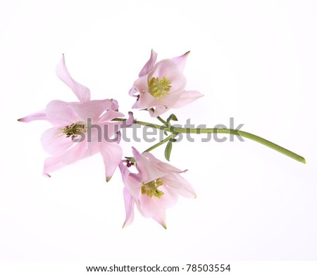 Columbine pink flower on white background - stock photo