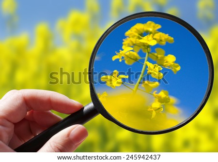 colza  / rapeseed plant - czech agriculture - ecological farming - stock photo