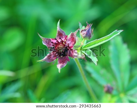 Comarum palustre. Blossoming of a plant in Siberia - stock photo