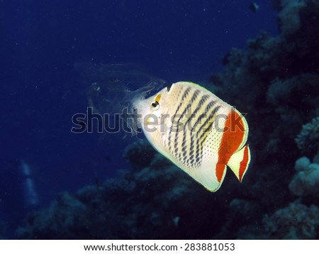 Comb jelly being preyed on by crown butterflyfish - stock photo