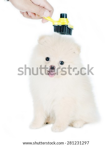 combing fur of white Pomeranian dog. care for dog hair. - stock photo