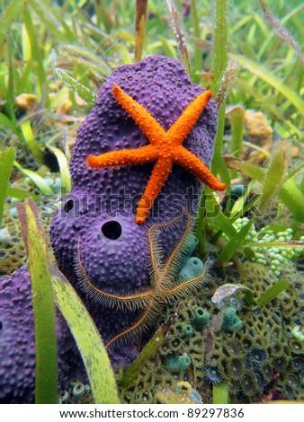Comet starfish and brittle star on purple tube sponge, Caribbean sea - stock photo