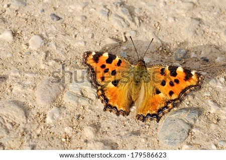 comma butterfly close up  - stock photo