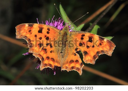 Comma Butterfly Polygonia c-album Family Nymphalidae - stock photo