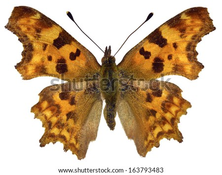 Comma butterfly (Polygonia c-album) isolated on white background - stock photo