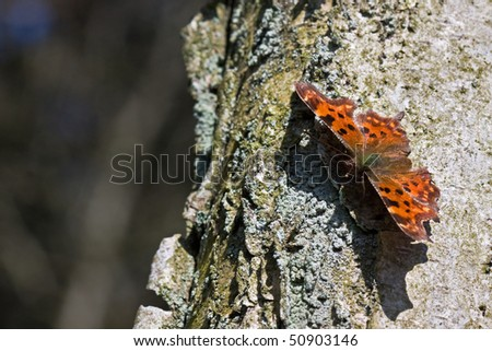 Comma butterfly (Polygonia c-album) on a birch - stock photo