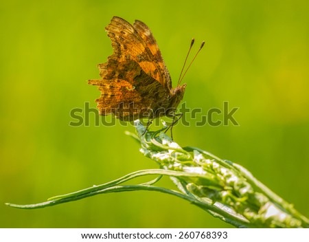 Comma butterfly (Polygonia c-album) resting on vegetaion in grassland - stock photo