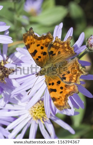 Comma (Polygonia C-Album) Butterfly on Aster - stock photo