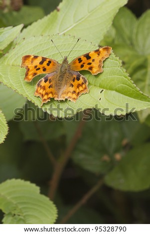 Comma (Polygonia c-album) Butterfly resting on a leaf - stock photo