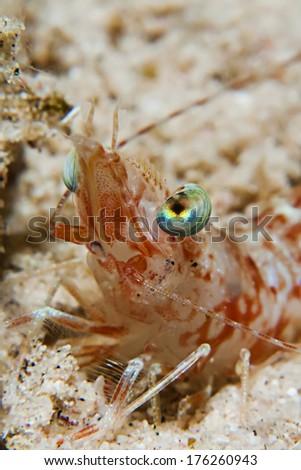 Commersial shrimp (Metapenaeopsis sp.) - stock photo