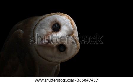common barn owl ( Tyto albahead ) in dark background - stock photo