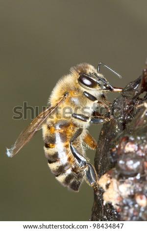 common bee eating sap / Apis mellifera - stock photo