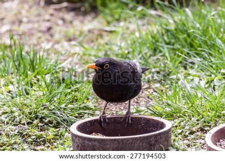 Common black bird in its own habitat - stock photo