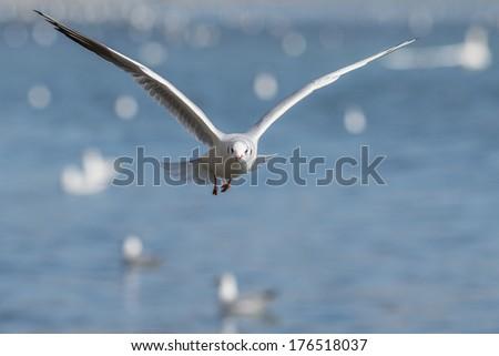 Common Black-headed Gull ( Larus ridibundus) in flight front of nice blue sky - stock photo