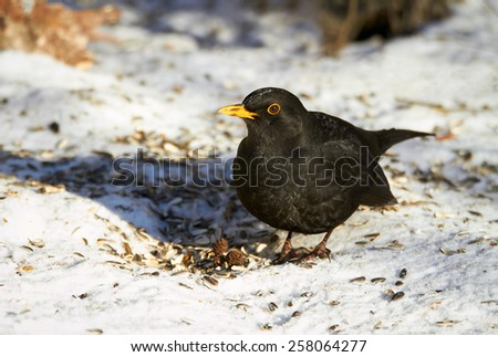 Common Blackbird eating sunflower seeds in the winter. Beautiful black bird is standing on the snowy ground. - stock photo