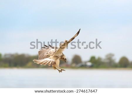Common Blonde buzzard in nature - stock photo