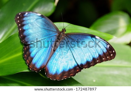 Common Blue Morpho Butterfly,aka,Morpho peleides - stock photo