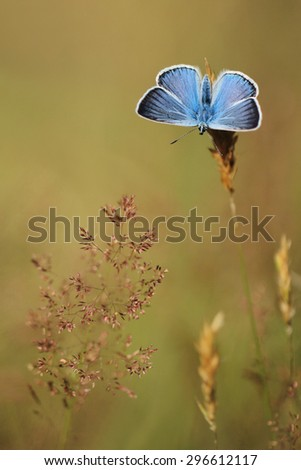 Common Blue (Polyomathus icarus) male  - stock photo