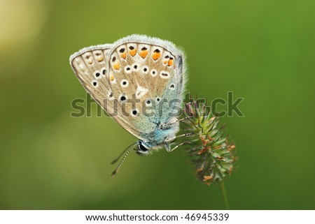 Common Blue (Polyommatus icarus) on a straw - stock photo