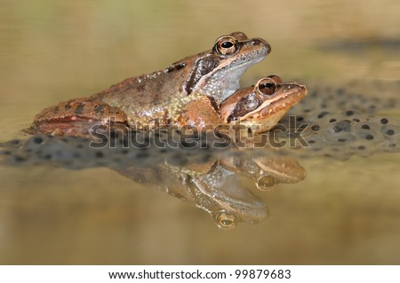Common brown frog (Rana temporaria) mating on eggs - stock photo