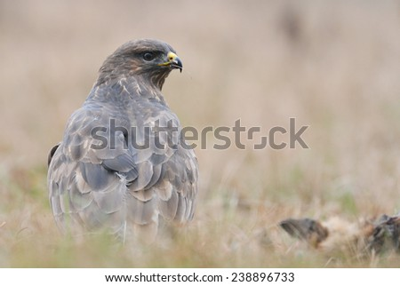 Common buzzard Buteo buteo - stock photo