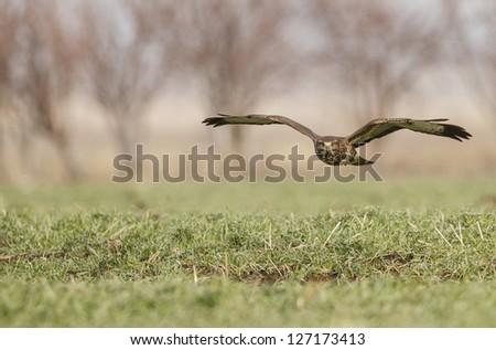 Common Buzzard flight front of green grass Buteo Buteo - stock photo