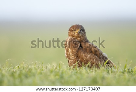 Common Buzzard stand alone on green grass - stock photo