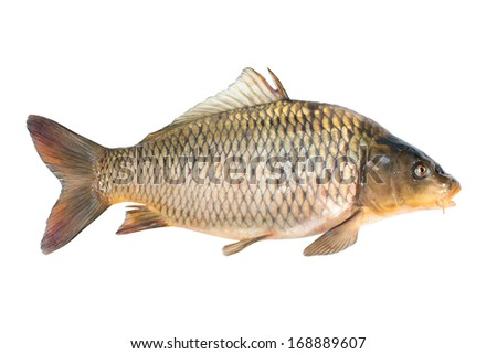 Common carp fish isolated on white background - stock photo