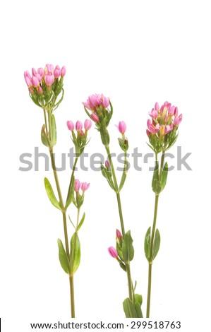 Common Centuary, Centaurium erythraea, wild flower isolated against white - stock photo