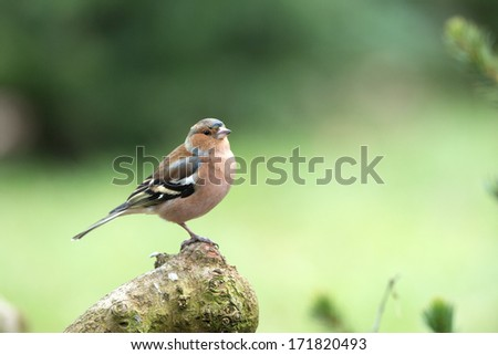 Common Chaffinch - stock photo