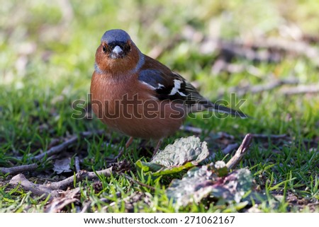 Common chaffinch (Fringilla coelebs) standing in green grass looking into the camera - stock photo