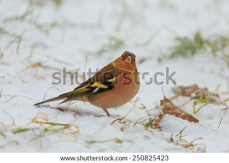 Common chaffinch looking to us - stock photo