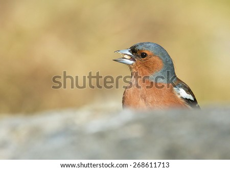 Common chaffinch, male - stock photo