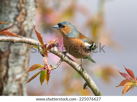 common chaffinch perched on a tree branch  - stock photo