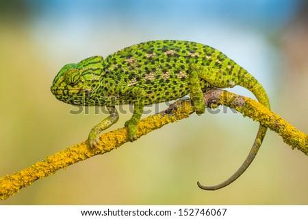 Common chameleon - stock photo