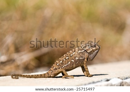 Common Chameleon (Chamaeleo chamaeleon) - stock photo