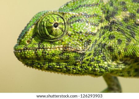 Common Chameleon on a branch in the shadow - stock photo