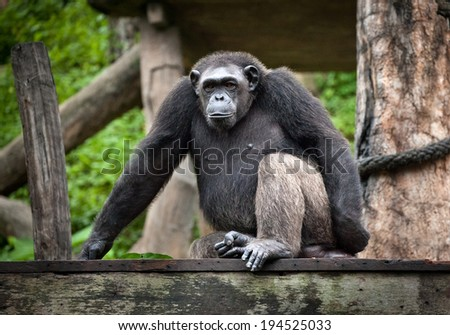 Common Chimpanzee sitting next  in the Zoo - stock photo