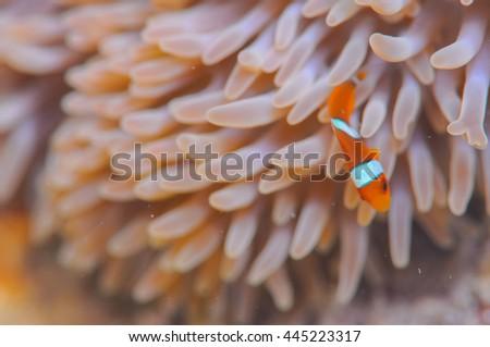 Common clownfish - stock photo