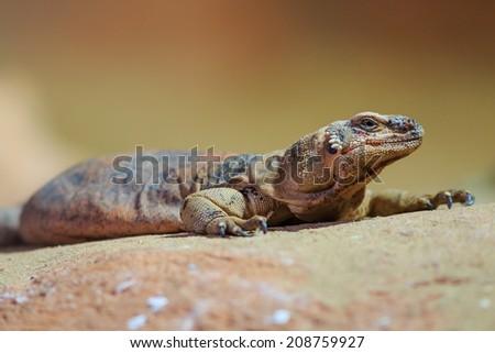 Common collared lizard - stock photo