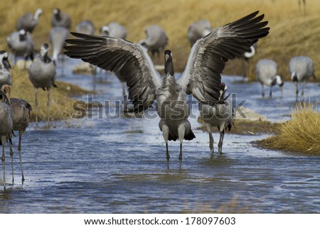 Common Crane, Grus grus in Gallocanta. Zaragoza. Spain. - stock photo