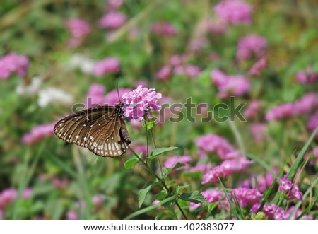 Common crow butterfly, Euploea Core, feeding on pink flowers. Dark brown butterfly with white spots on wing and body is a popular migratory butterfly. Chemicals in body make them inedible to predators - stock photo