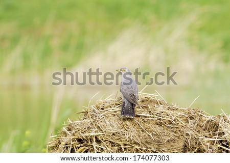 Common Cuckoo  / Cuculus canorus ( European Cuckoo) - stock photo