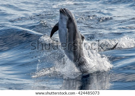 common dolphin jumping outside the water - stock photo
