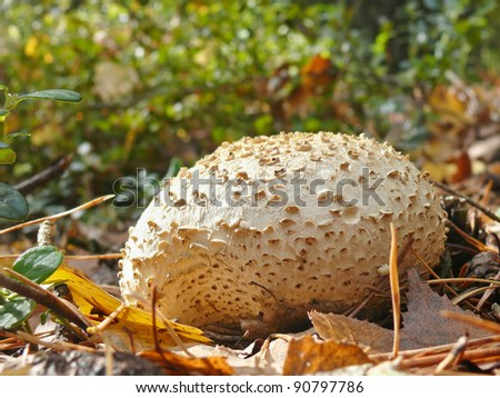Common earth ball, Scleroderma citrinum - stock photo